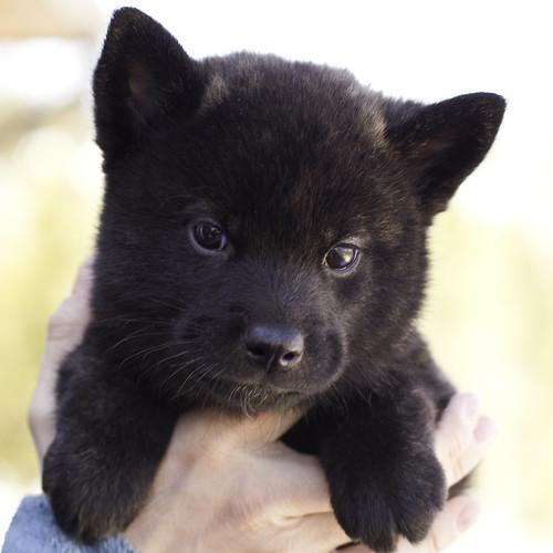 Nami-Litter1-Day40-Puppy3-Male(Hazuki)-1
