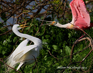 Spoonbill and Egret Dispute
