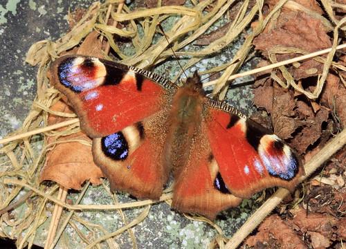 Peacock Carr 26435