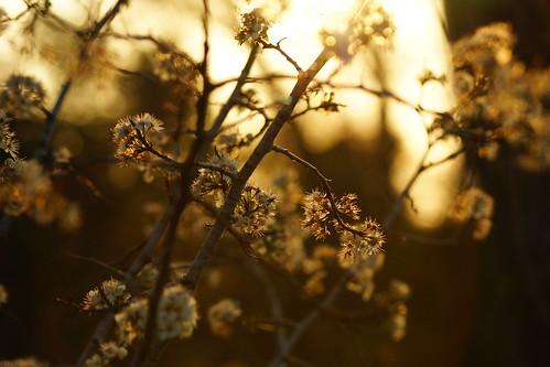 sunset summer flower macro sunrise canon lens spring branch bokeh sony flare bud alpha a65 t4i t5i