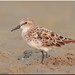 Little Stint - in breeding colors
