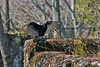 Turkey Vulture (2 of 2) at Duke Farms, Hillsborough, NJ by takegoro