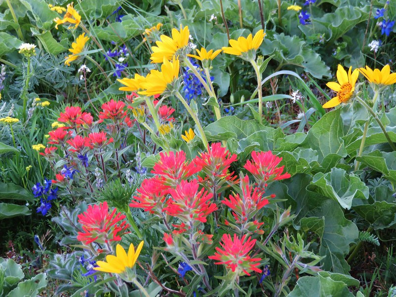 Larkspur, balsamroot, and paintbrush