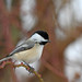 Black-capped Chickodee by lcheider