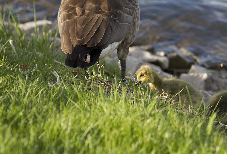 goose family11