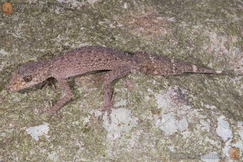 Champion's leaf-tailed gecko (Phyllurus championae)