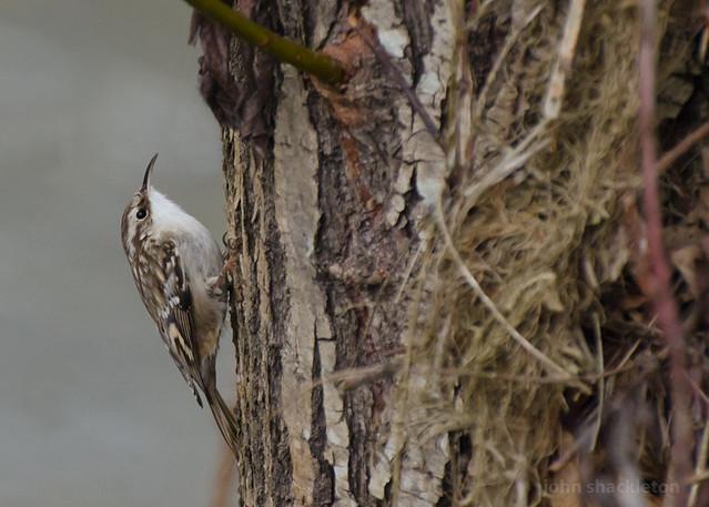 Short-toed Treecreeper / Agateador común (Certhia brachydactyla)