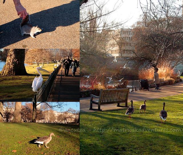 foto immagini animali St. James's Park londra