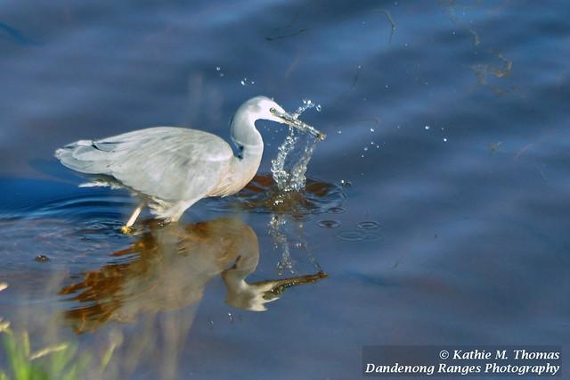 339-365 White-faced Grey Heron - so quick!