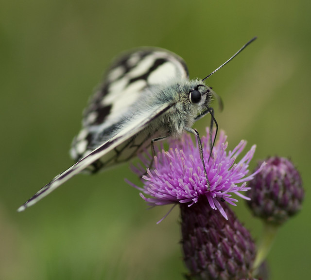 marbled white butterfly 15