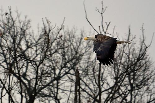 Bald Eagle DSC_0152