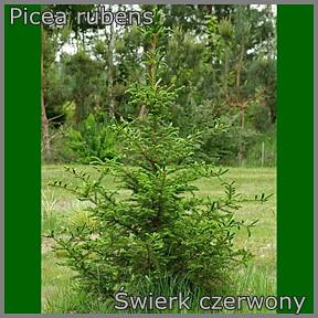 Picea rubens - Świerk czerwony