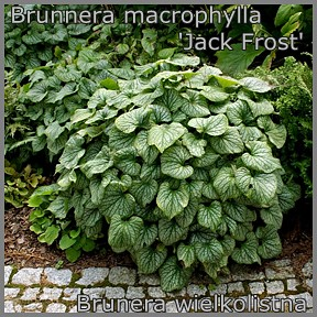 Brunnera macrophylla 'Jack Frost' - Brunera wielkolistna