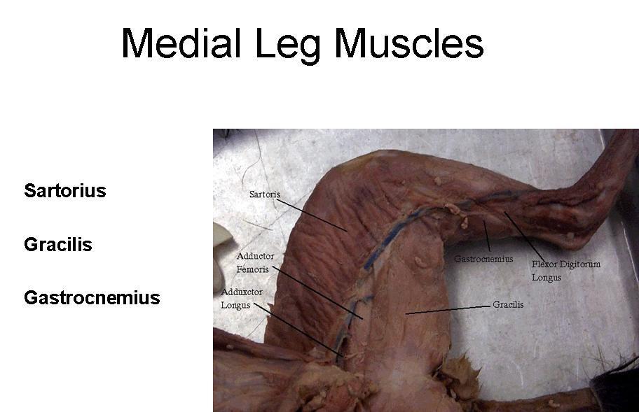 11. Medial Leg Muscles