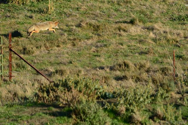 coyote hunt 2011-11-14