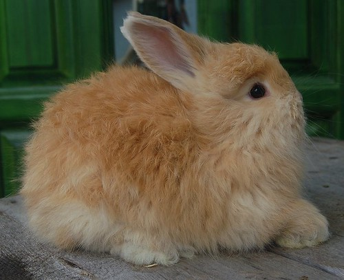 Fawn German/English Angora buck-6 weeks by TulipanFarm