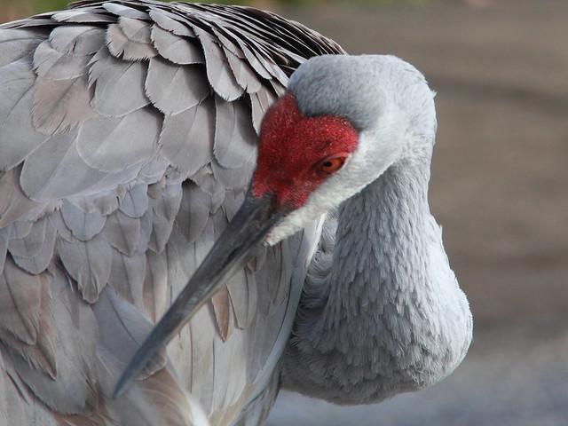 Sandhill Crane preening 20111213