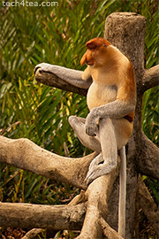 The bigger male proboscis monkey. The males have larger noses.