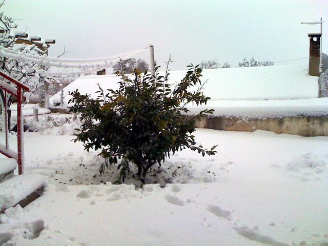 stablo mandarina u snijegu
