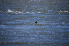 Harbor seal in the waves