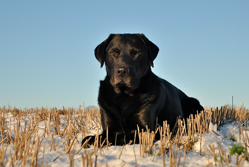 black Labrador on the dunes