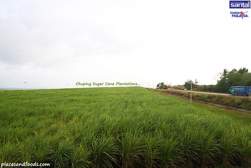 chuping sugar cane plantation5