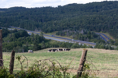A Herd of Cows in Lyndonville-1.jpg