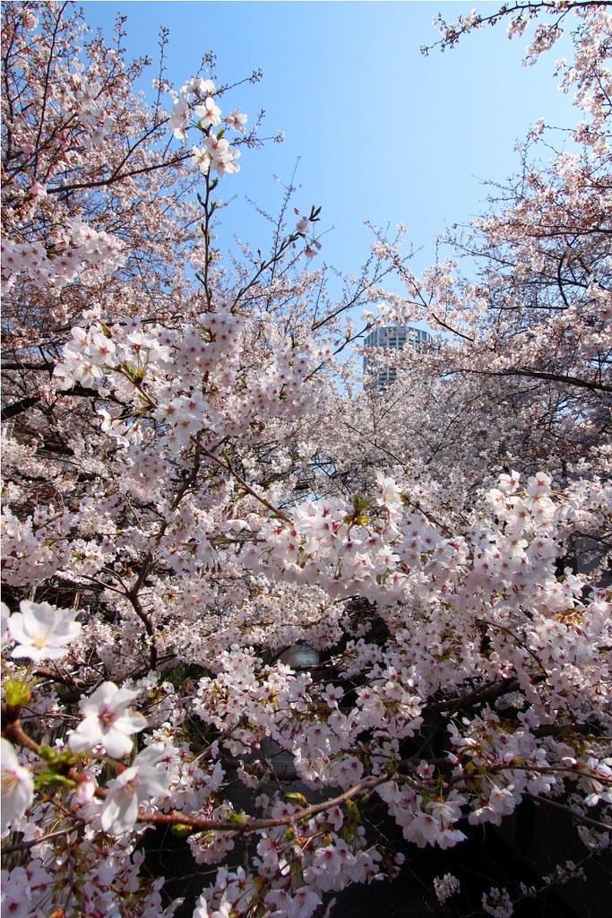 Sakura Photo 2011Meguro River (12)