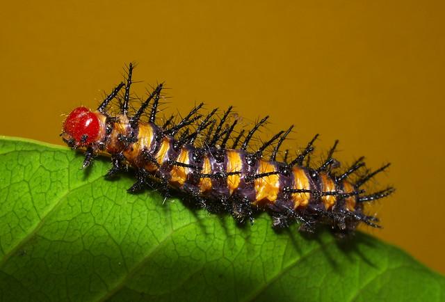 Banded larva