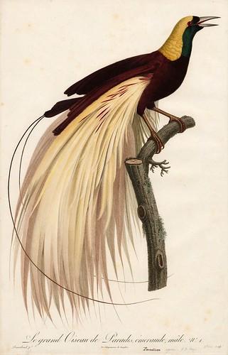 001-Gran ave del paraiso macho-Histoire naturelle des Oiseaux de paradis et des Rolliers.. 1806-François Levaillant
