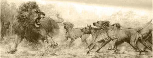 6566192473 661544d0c9 z jpgRhodesian Ridgeback Lion Hunting Video
