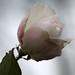 roos met kerst 01