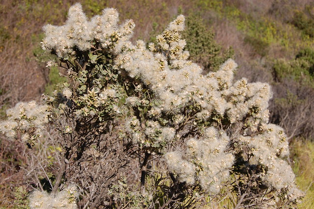 Baccharis pilularis - Coyote Brush