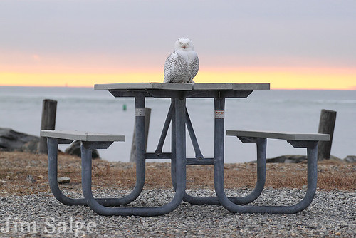 Snowy Owl on Picnic Table