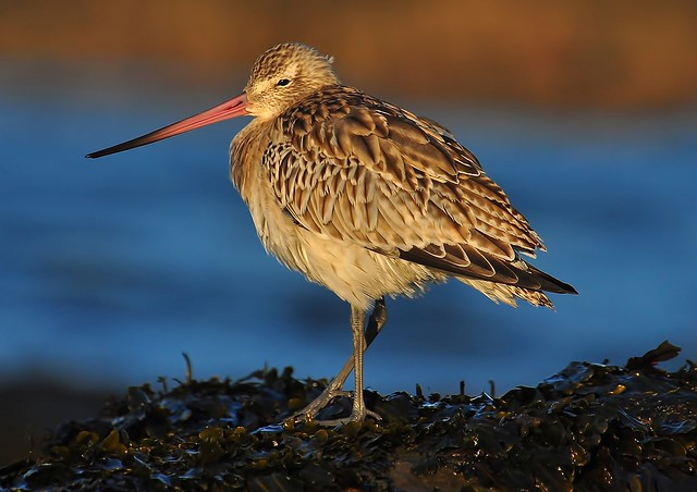 Bar-Tailed Godwit 2