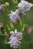 Aquilegia vulgaris, Granny's Bonnet Columbine