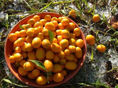 kumquats dans la neige.jpg
