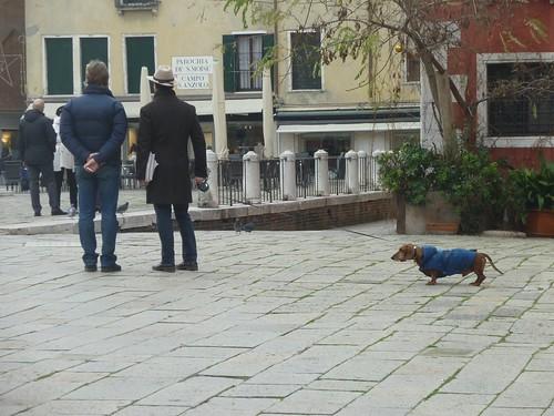 chien vénitien
