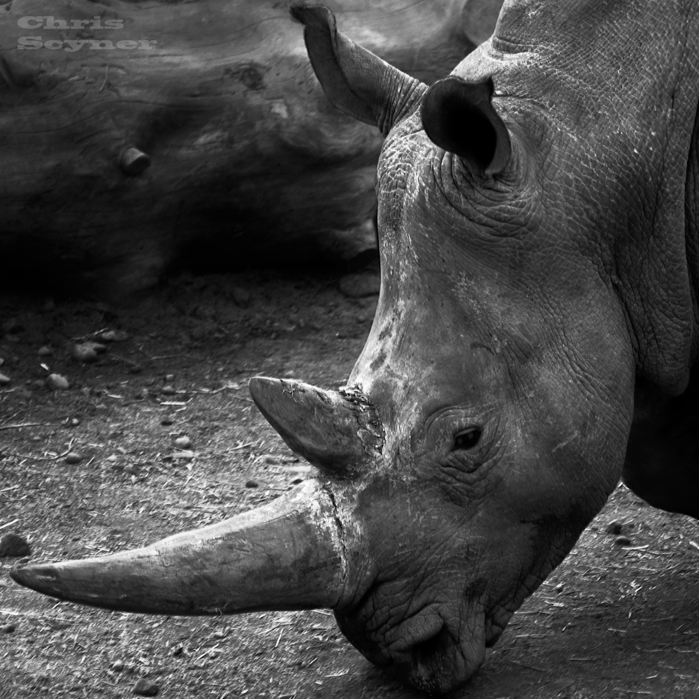 A lovely picture of a rhino shot in black and white.