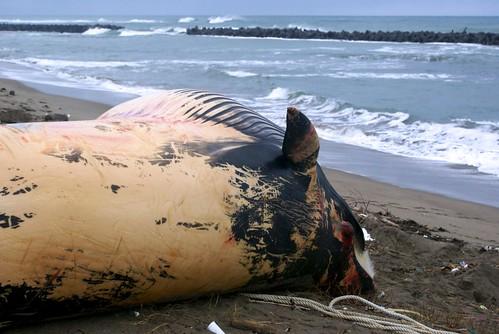 寺泊に漂着したクジラ
