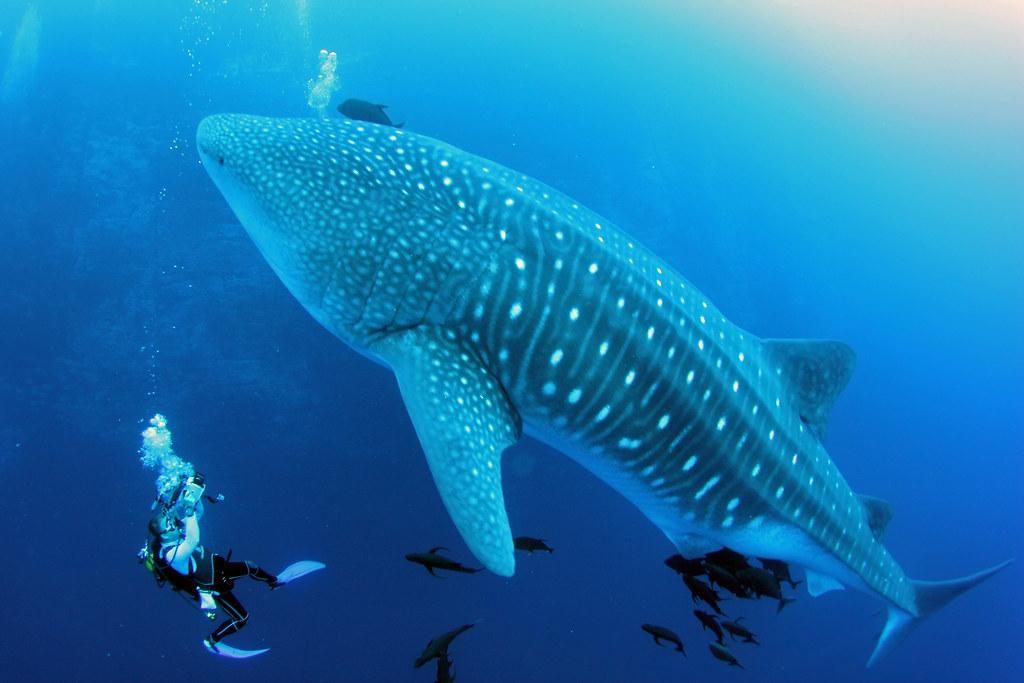 Whale shark, Roca Partida