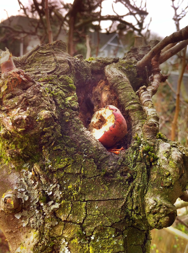 Squirrel's Treat at the Top of the Pear Tree