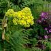 Aeonium & Geranium maderense, Aeonium and Giant Herb Plant (Dawn Nelson)