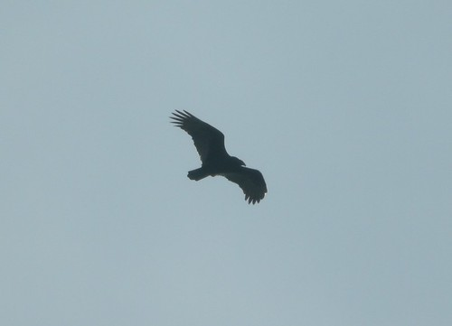 Turkey Vulture, Montcalm Co., MI, January 11, 2012