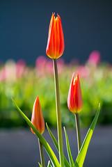 2012 Tulip 7