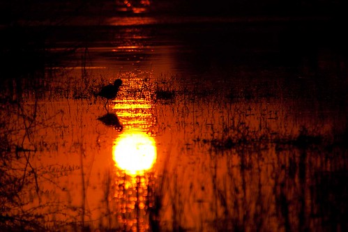Silhouette of a Black-winged Stilt