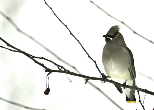 01-19-12 Cedar Wax Wing by roswellsgirl