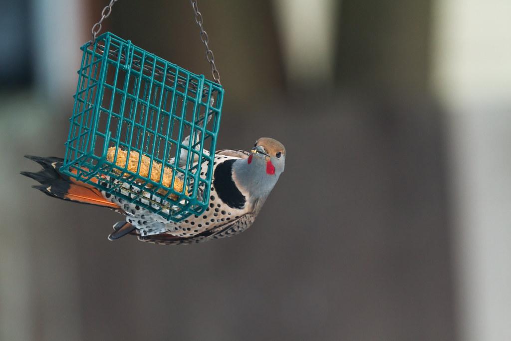 Alimentadores de Pájaro Suet - Petcha