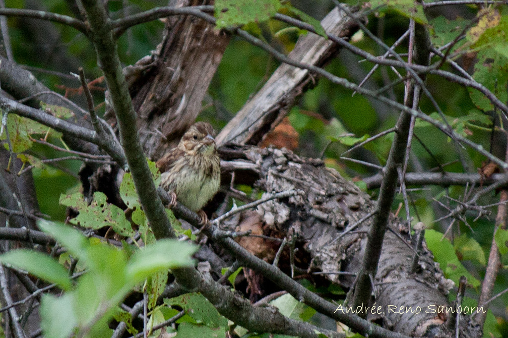 A Wet Little Sparrow (Song Sparrow, Melospiza melodia)-2.jpg