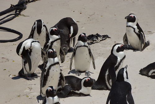 African Penguins at Boulders, South Africa